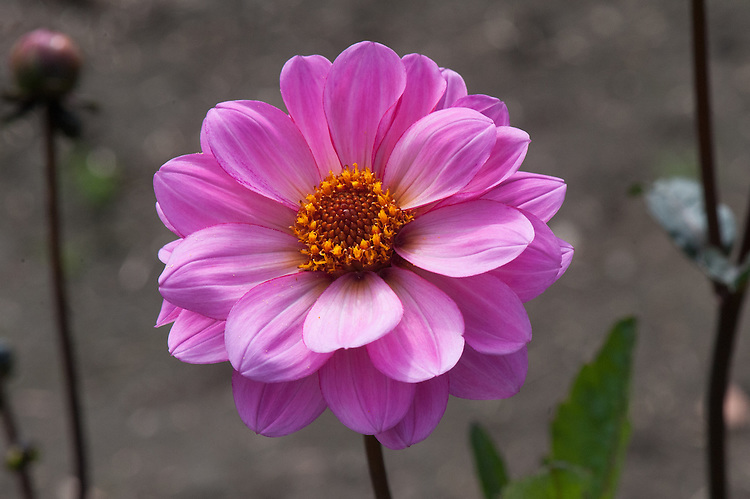 Dahlia 'Classic Rosamunde', early September. A bright pink Miscellaneous Group dahlia from Holland.