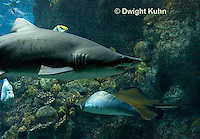 TP12-508z  Sand Tiger Shark, Carcharias taurus and Sting Ray