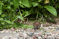 Rötelmaus, Rötel-Maus, Waldwühlmaus, Wald-Wühlmaus, Wühlmaus, Maus, Mäuse, Clethrionomys glareolus, Myodes glareolus, bank vole