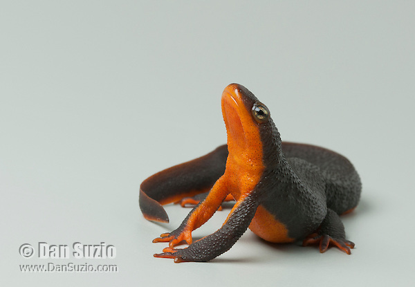 Rough-skinned newt, Taricha granulosa, in a defensive pose. Exposing its bright underside can startle predators and serve as a warning that the newt is toxic to most animals.  Mendocino County, California