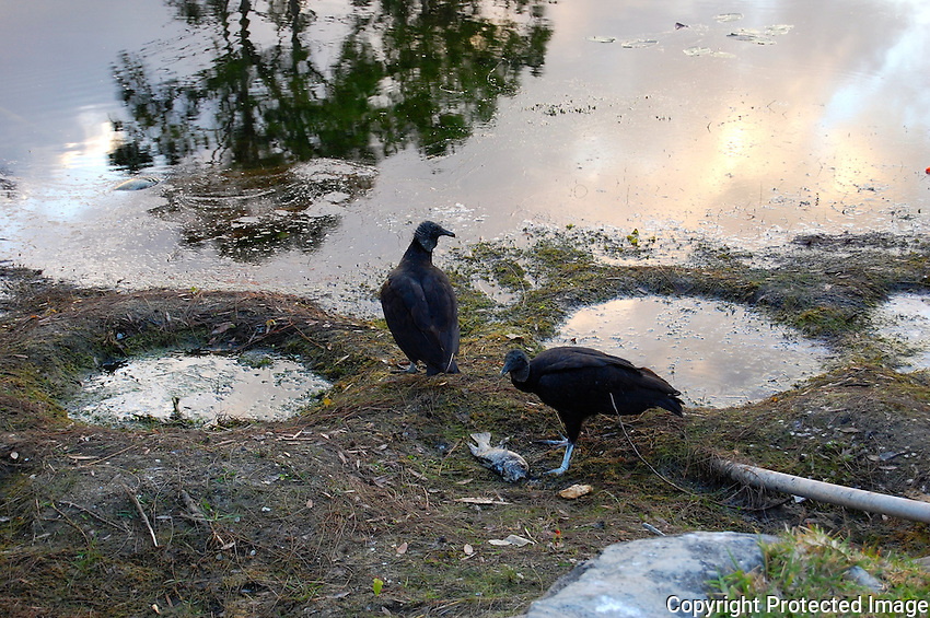 During a prolonged drought the lake behind my property started to dry up resulting in the demise of many fish, and vultures enjoying a meal.