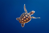 A young loggerhead turtle. This turtle was hatched and raised to an age of 60 days by a turtle rehabilitation and protection organization in Florida, then released into the wild near the Northern Bahamas, Caretta caretta, Bahamas, Caribbean, Atlantic