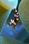 Thor amboinensis, Squat anemone shrimp, Dominica