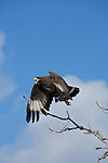 .The Hook-billed Kite, Chondrohierax uncinatus, is a bird of prey in the family Accipitridae,