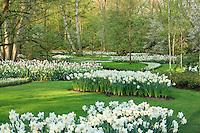 "Hollande, région des champs de fleurs, Lisse, Keukenhof, massif de narcisses (Narcissus) et tulipes (Tulipa) // Holland, ""Dune and Bulb Region"" in April, Lisse, Keukenhof, mass of white daffodils (Narcissus) and pink tulips (Tulipa)."
