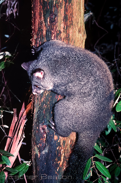 Bobuck or Mountain Brushtail Possum (Trichosurus cunninghamii) showing heavy body. Central Highlands, Victoria.