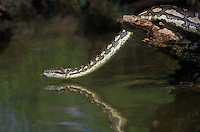 458034004 a captive carpet python moreilia spilotes variegata crawls along a small pond - reptile is a captive animal