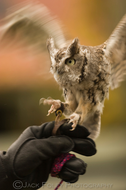 Western screech owl being handled by a scientist.