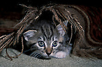 Tabby Kitten, Cat, playing under carpet, 10 weeks old, mischevious, naughty, playful, playing, alert, large eyes, domestic