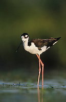 Black-necked Stilt, Himantopus mexicanus,adult, Lake Corpus Christi, Texas, USA, May 2003