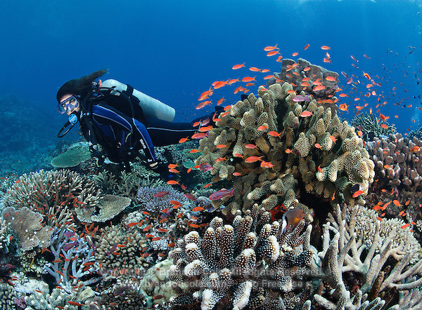 qe0170-D. scuba diver (model released) swims overtop vibrant reef top, with many hard coral species (various Acropora spp., Pocillopora sp.) and a cloud of Scalefin anthias (Pseudanthias squammipinnis). Fiji, tropical Pacific Ocean..Photo Copyright © Brandon Cole. All rights reserved worldwide.  www.brandoncole.com..This photo is NOT free. It is NOT in the public domain. This photo is a Copyrighted Work, registered with the US Copyright Office. .Rights to reproduction of photograph granted only upon payment in full of agreed upon licensing fee. Any use of this photo prior to such payment is an infringement of copyright and punishable by fines up to  $150,000 USD...Brandon Cole.MARINE PHOTOGRAPHY.http://www.brandoncole.com.email: brandoncole@msn.com.4917 N. Boeing Rd..Spokane Valley, WA  99206  USA.tel: 509-535-3489