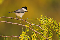 Carolina Chickadee (Poecile carolinensis), adult perched on mesquite, Dinero, Lake Corpus Christi, South Texas, USA