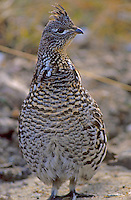 Ruffed Grouse, Okanogan NF, Washington