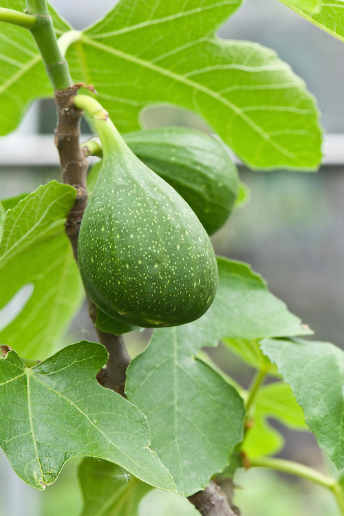 Fig 'Flanders', glasshouse, early May.