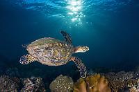 hawksbill sea turtle, Eretmochelys imbricata, critically endangered species, Mahe, Seychelles, Indian Ocean