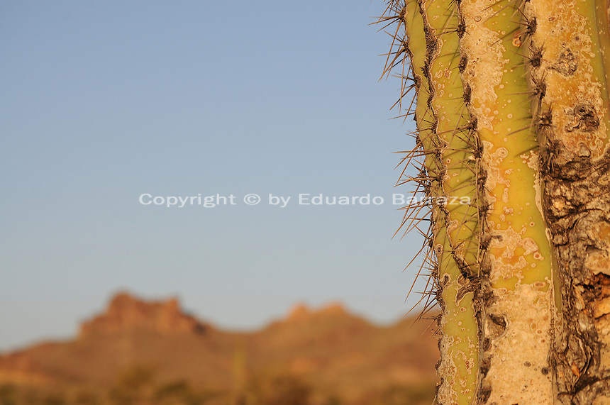 Apache Junction, Arizona. The Lost Dutchman State Park is located in the area of the Superstition Mountains in the Sonoran Desert, 40 miles east of Phoenix, Arizona. The park takes its name from a fabled lost gold mine. This photograph shows a detail of a saguaro cactus shows it spines and rough texture. Saguaros are native to the Sonoran Desert in the U.S. state of Arizona. This is a common scene in the Lost Dutchman's State Park. Photo by Eduardo Barraza © 2011