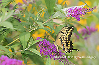 03017-01418 Giant Swallowtail (Papilio cresphontes) on Butterfly Bush (Buddleja davidii) Marion Co. IL