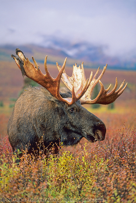 Bull moose on autumn tundra, Denali National Park, Alaska