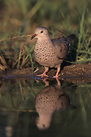Common Ground-Dove, Columbina passerina, adult drinking, Lake Corpus Christi, Texas, USA, May 2003