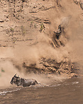 Pictured: Wildebeest crash down a steep 50ft high dusty river bank into cold muddy water.    The powerful animals send clouds of dirt into the air as they hurtle down the slope. <br /> <br /> As part of their annual migration during the dry season thousands of wildebeest cross the Mara river in Kenya.    The pictures, taken in the Masai Mara National park, show the 400lb creatures making their way down the steep banks and into the shallow water.   SEE OUR COPY FOR DETAILS<br /> <br /> Please byline: James Cai/Solent News<br /> <br /> © James Cai/Solent News & Photo Agency<br /> UK +44 (0) 2380 458800