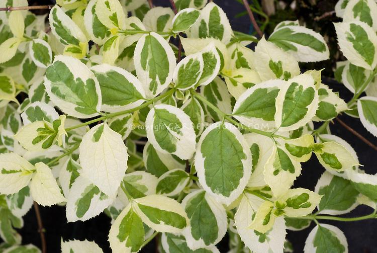 Philadelphus coronarius Variegatus variegated leaf foliage