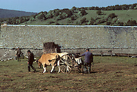 Europe/France/Auvergne/12/Aveyron : Aubrac - Transport du lait au buron de canut - Fourme de Laguiole AOC<br /> PHOTO D'ARCHIVES // ARCHIVAL IMAGES<br /> FRANCE 1980