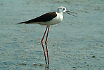 Black Winged Stilt, Himantopus himantopus, Camargue, long pink legs, black bill, wading in water, wader.France....