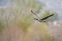 Canada Goose (Branta canadensis moffitti), in flight at the Henderson Bird Viewing Preserve in Henderson, Nevada.