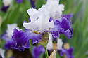 Bearded purple-blue and white Iris 'Ciel et Mer' (R. Cayeux, 2007).