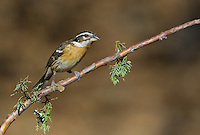 538660020 a wild female black-headed grosbeak pheucticus melanocephalus perches on a pine bough in madera canyon green valley arizona united states