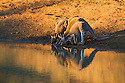 Australia,  NSW, Sturt National Park; red kangaroos (Macropus rufus) drinking at water hole; the red kangaroo population increased dramatically after the recent rains in the previous 3 years following 8 years of drought