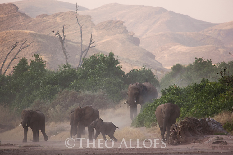 Namibia;  Namib Desert, Skeleton Coast,  desert elephant (Loxodonta africana) breeding herd with bull walking in dry river bed during dust storm