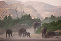 Namibia;  Namib Desert, Skeleton Coast,  desert elephant (Loxodonta africana) breeding herd with bull walking in dry river bed during dust storm