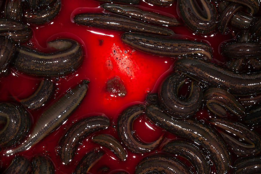 Udelnaya, Russia, 08/10/2012..Leeches feeding on blood in the International Medical Leech Centre, the largest leech farm in the world.