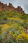 Brittlebush in Bloom, Superstition Mountains, Arizona