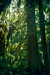 Douglas fir trees with mossy branches in a forest lit by sunlight. Vancouver Island, British Columbia, Canada.
