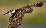 Northern Harrier.Circus cyaneus.in flight at Viera Wetlands Viera Florida, February 27, 2008. Fitzroy Barrett