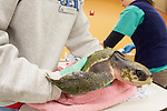 Donna Cary With Olive Ridley Sea Turtle, Welfleet Bay Wildlife Sanctuary, Audubon