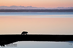Large male black bear on a gravel bar in Yellowstone Lake. Yellowstone National Park, Wyoming.