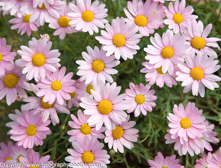 Argyranthemum pink daisy-like flowers