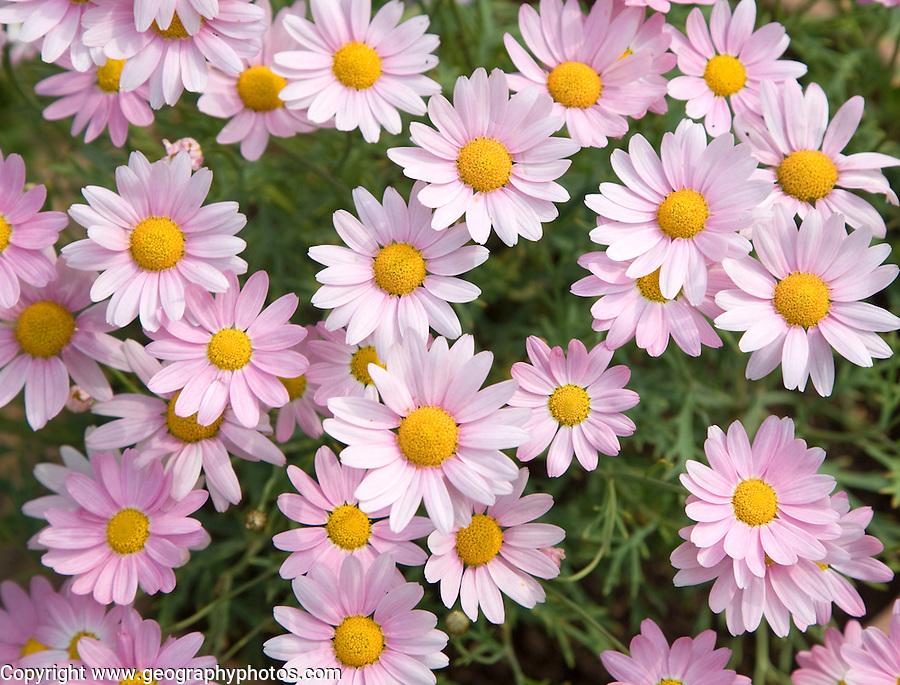 Argyranthemum pink daisy-like flowers