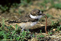 1K08-002x  Killdeer - young chick 1-2 days old eating worm - Charadrius vociferus