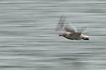 Dolphin Gull (Leucophaeus scoresbii) flying, Punta Arenas, Strait of Magellan, Patagonia, Chile