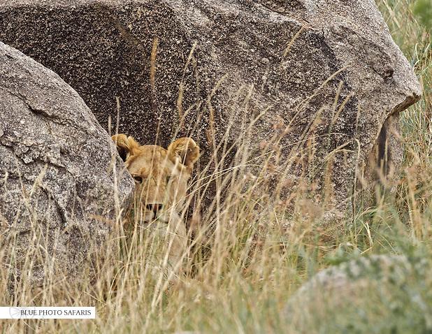 Lion hiding between rocks