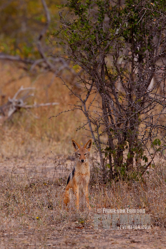 Black-backed Jackal (Canis mesomelas)..June 2009, winter..Balule Private Nature Reserve, York section..Greater Kruger National Park, Limpopo, South Africa.