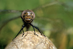 Dragonfly on a rock by marsh close up Lake Pleasant Bothell Washington State USA.