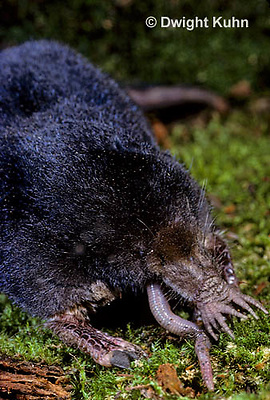 MB01-018z  Star-nosed Mole - adult eating worm - Condylura cristata