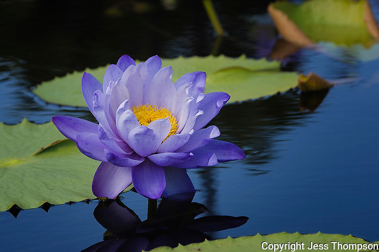 Water Lily,  International Waterlily Collection San Angelo, Texas