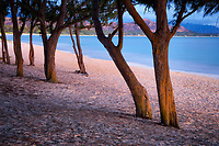 Ironwood trees and beach. Kailua Beach Park. Oahu, Hawaii