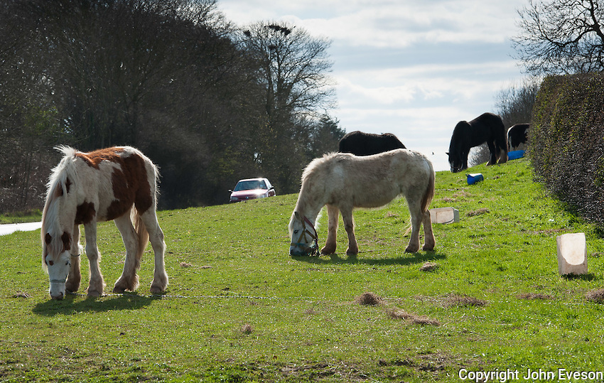 Gypsy ponies at the side of the road near York, Yorkshire.